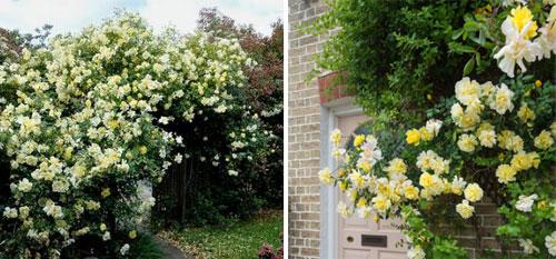 Роза Golden Showers