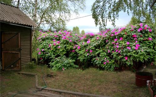 Живая изгородь в «розовых» тонах