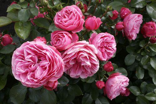 Самые ароматные розы