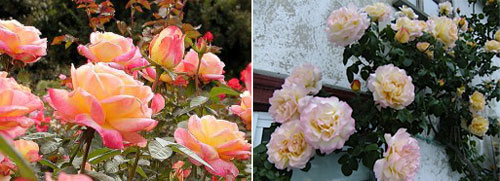 Роза Peace