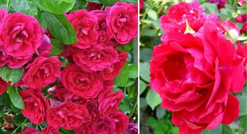 Роза Blaze Superior