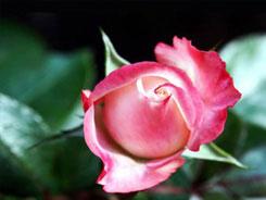 Роза Жоэль
