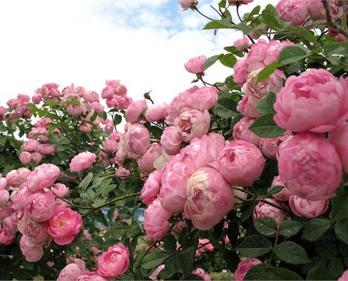 Роза Raubritter