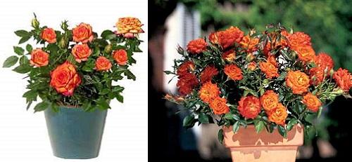 карликовая роза Mandarin
