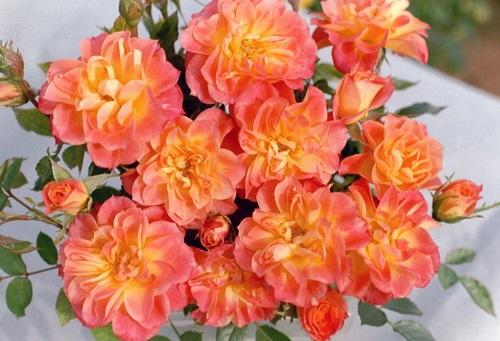 роза Mandarin