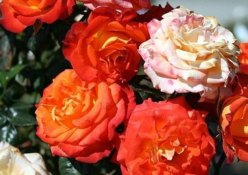 роза Mandarin фото