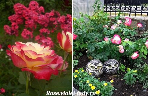 Двухцветная чайно-гибридная роза Double Delight