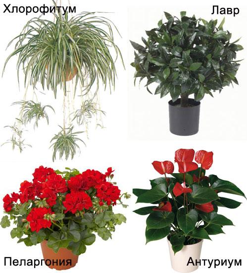 комнатные полезные растения фото