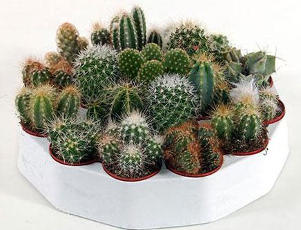 чем полезны кактусы