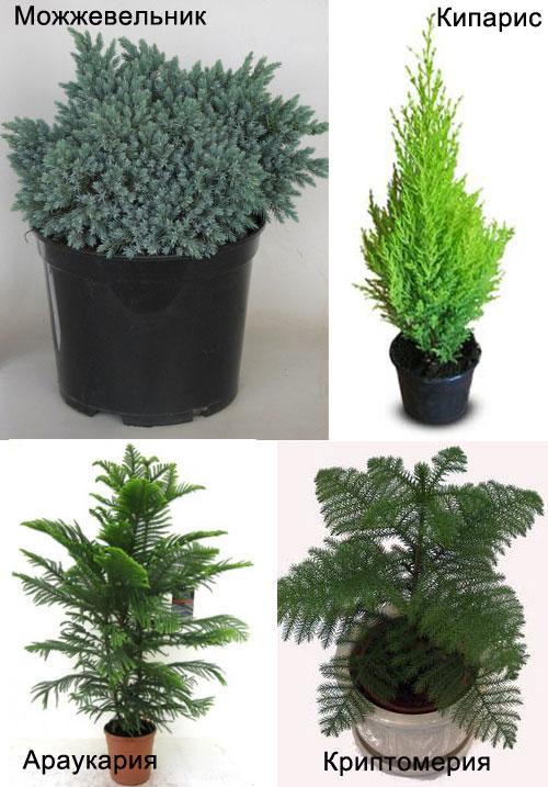 полезные хвойные комнатные растения