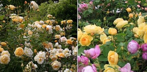 роза Graham Thomas в саду