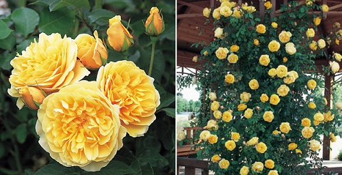 желтая роза Graham Thomas