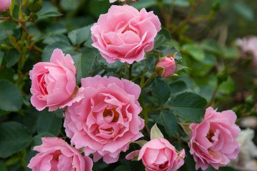 роза Sommerwind