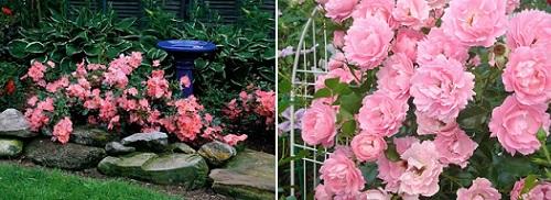 розовая роза Sommerwind