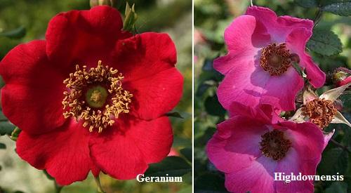 Сорта розы Moyesii