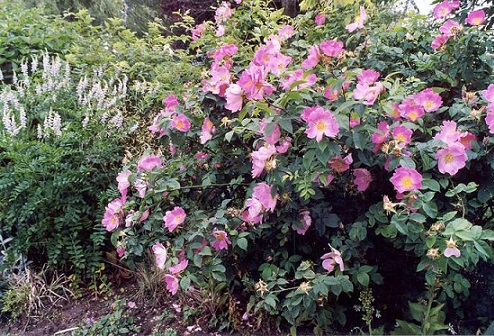 роза Moyesii фото