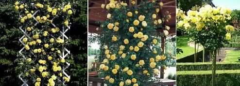 где посадить розу Lichtkonigin Lucia