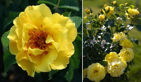 желтая роза Lichtkonigin Lucia