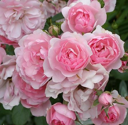 Роза Bonica 82