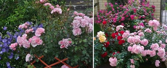 партнеры для розы Bonica 82