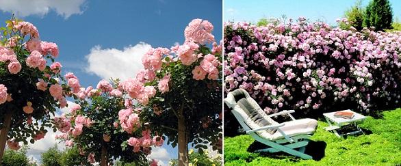 розовая роза Bonica 82 в саду