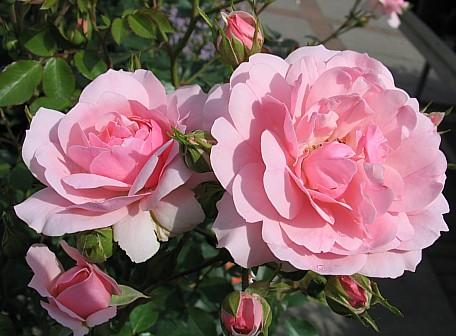 Роза Bonica 82 фото