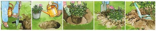 Как посадить розу Bonica 82