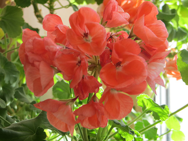 пеларгония выращивание