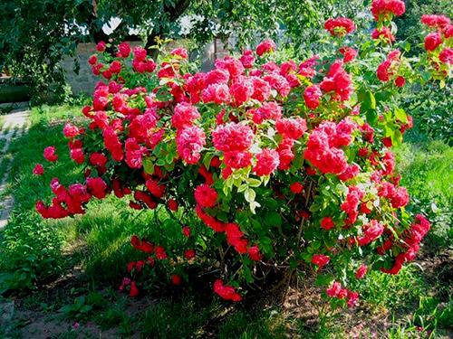 Роза Champlain