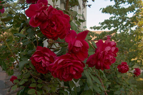 Роза Quarda