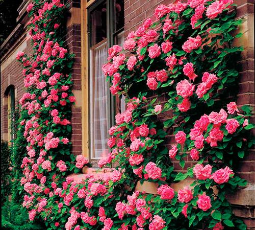 Плетеные канадские розы