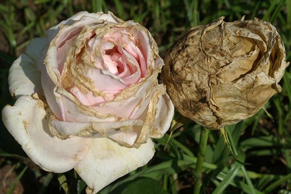 распространенные болезни роз