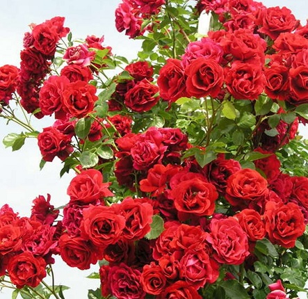 роза Duftwolke