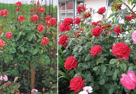красная роза Duftwolke