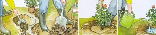 Как посадить розу Duftwolke