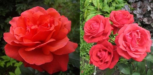 чайно-гибридная роза Duftwolke