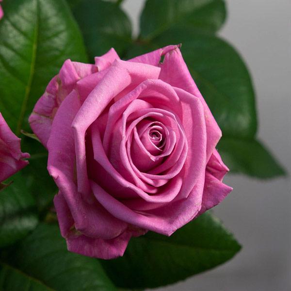 Голландская роза Аква
