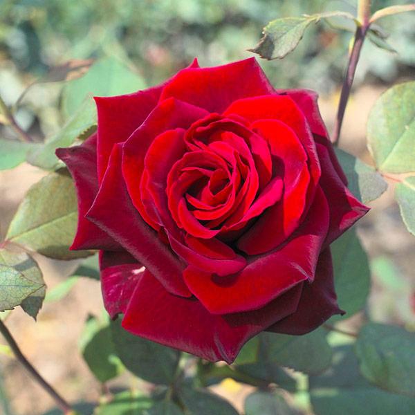 Голландская роза Гран При
