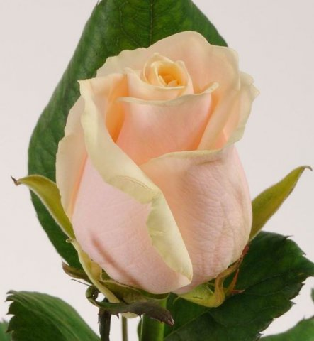 Голландская роза Талеа
