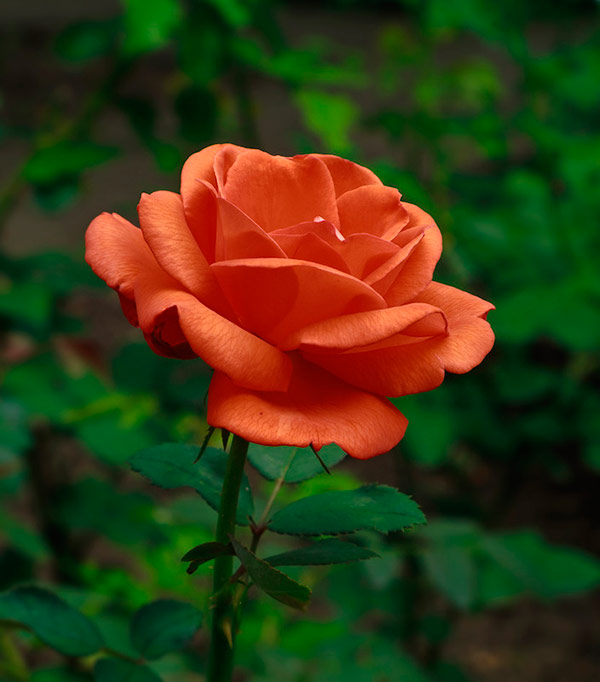 Голландская роза Терракота