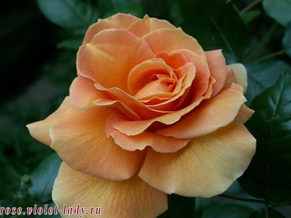 уход +за розами летом