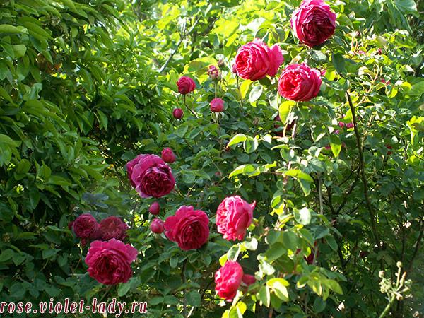 летний уход за розами