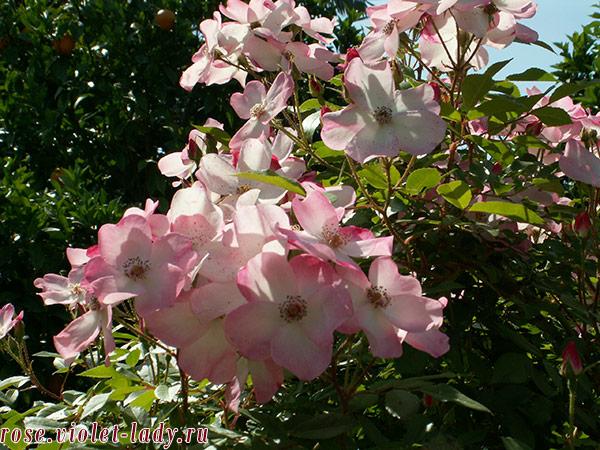 уход за розами в летний период