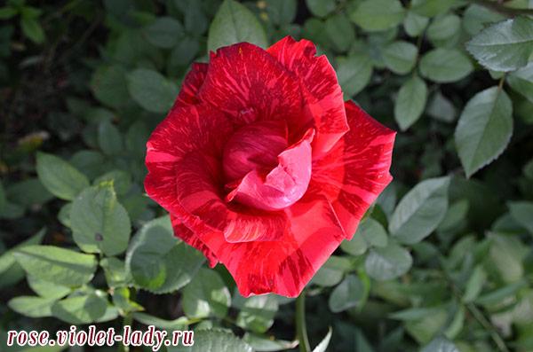 вишнево-красные розы овна