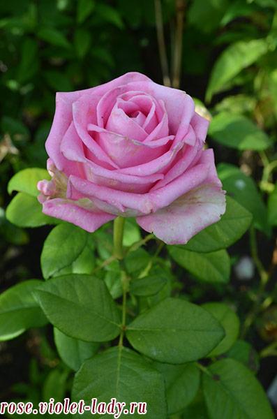 розы с мягким ароматом для Рыб