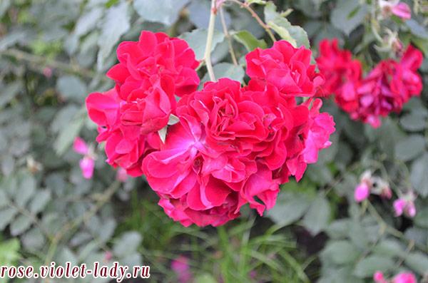 вьющиеся розы для Козерога