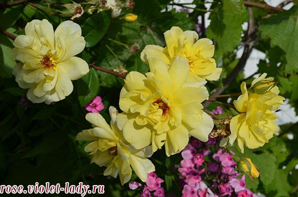 розы с небольшими бутонами для Водолея