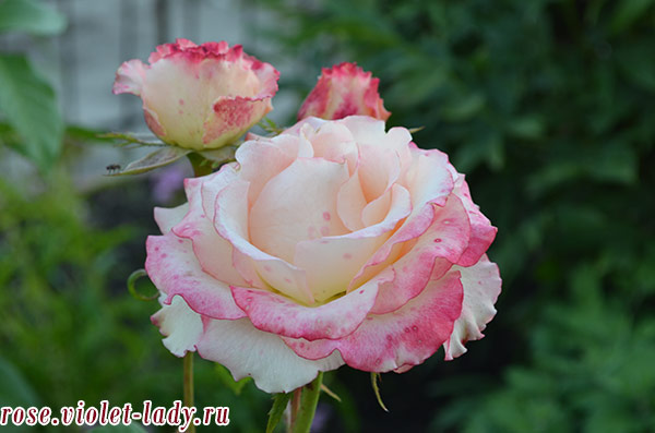 разноцветные розы для раков