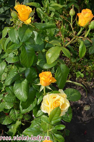желтые розы для Льва
