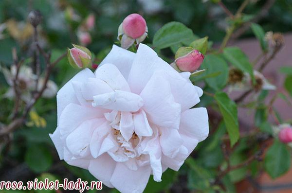 светло-розовые розы для Девы